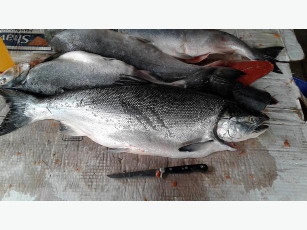 fresh spring salmon
