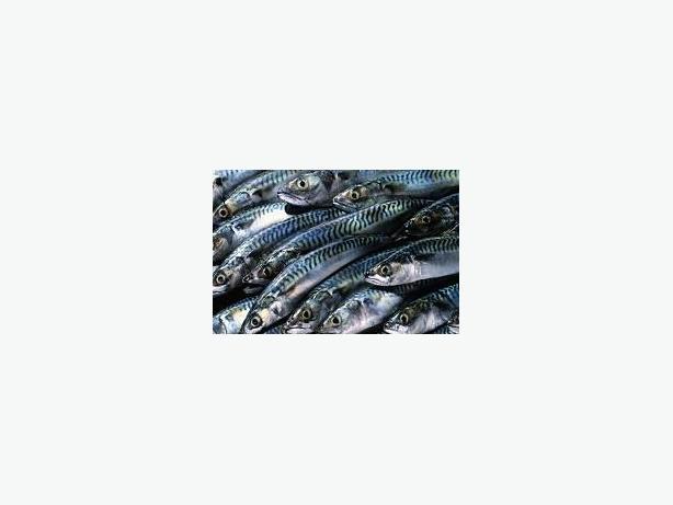 Herring and Mackerel License