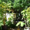 3 Mature Yellow Brugmansia plants