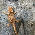 Super Red Bearded Dragons