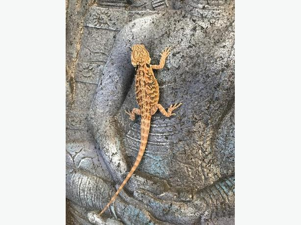 Red Trans high End Bearded Dragons Babies