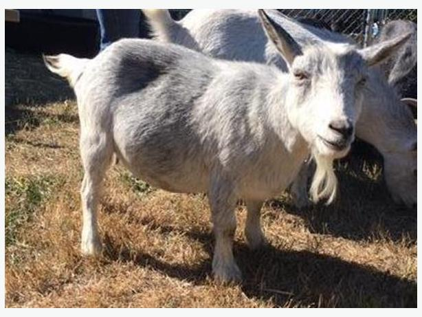 Casper - Goat Farm Animal