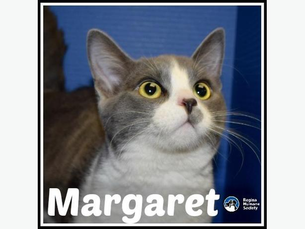 Margaret* - Domestic Short Hair Cat