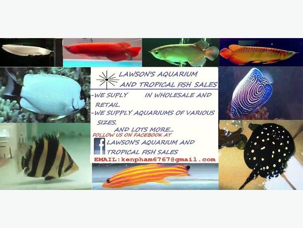 quality arowana, stingray, basslet, algelfish, snakehead and more aquarium fish