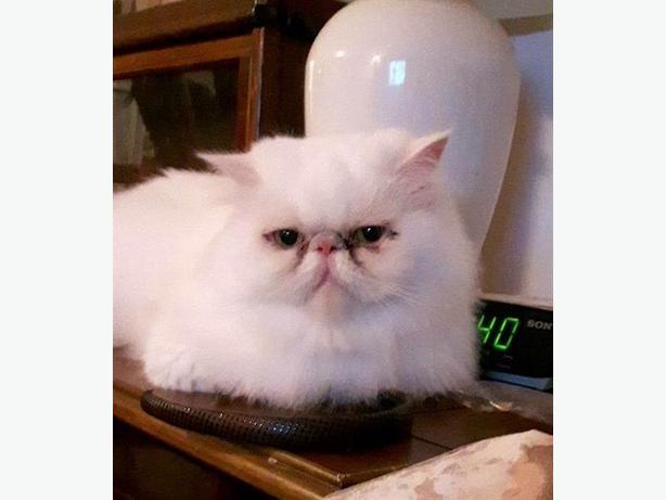 Aspen - Persian Cat