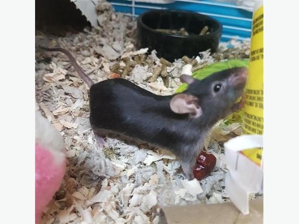 Barlow - Mouse Small Animal