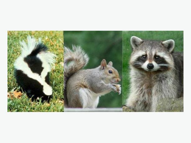 Humane Wildlife Removal Hamilton