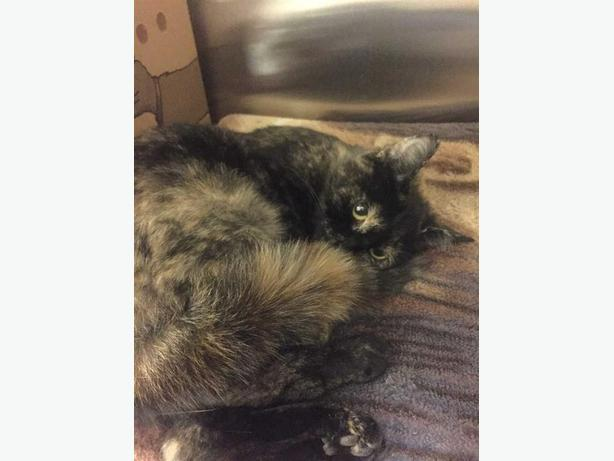 Savannah - Domestic Short Hair Cat