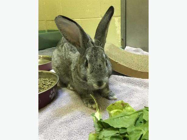 Bert - American Rabbit
