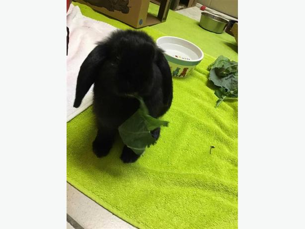 Pentunia - Holland Lop Rabbit