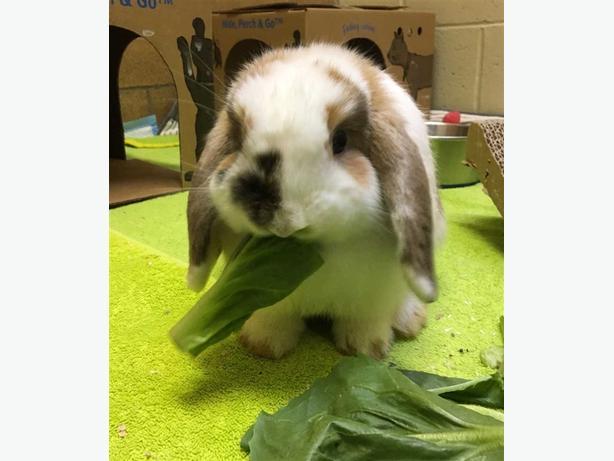 Pebbles - Holland Lop Rabbit