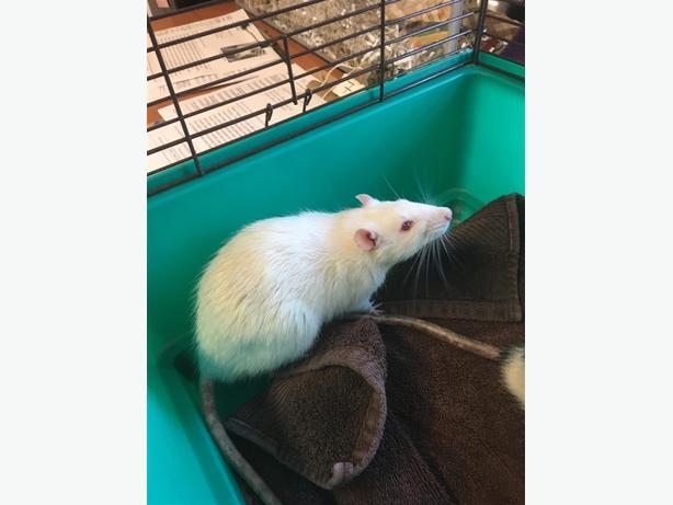 Alcide - Rat Small Animal