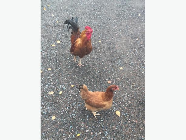 Chickens and Roosters for sale