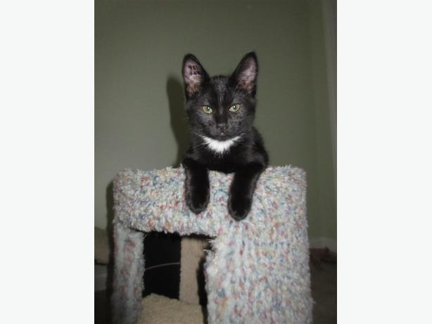 Stella - Domestic Short Hair Kitten