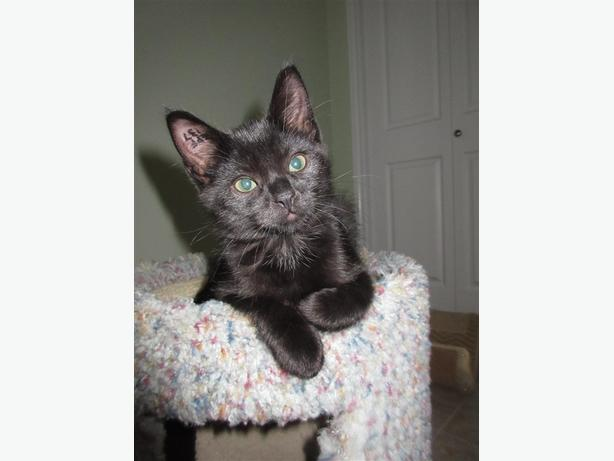 Trixie - Domestic Short Hair Kitten