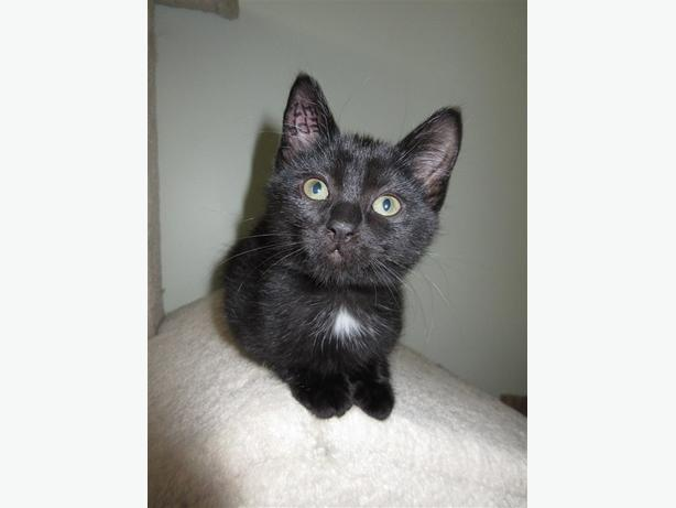 Cookie - Domestic Short Hair Kitten
