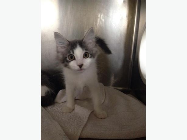 Mickey - Domestic Medium Hair Kitten