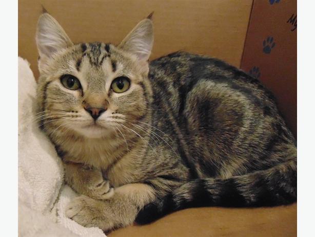 Isabel - Domestic Short Hair Kitten
