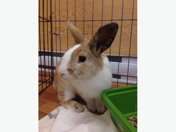 Adam - Dutch Rabbit