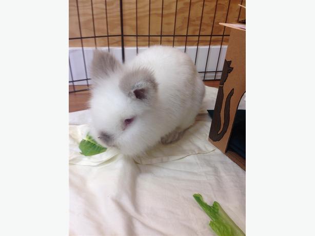 Peter - Angora Rabbit