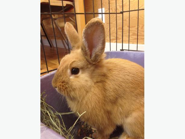 Cadbury - Lop Eared Rabbit