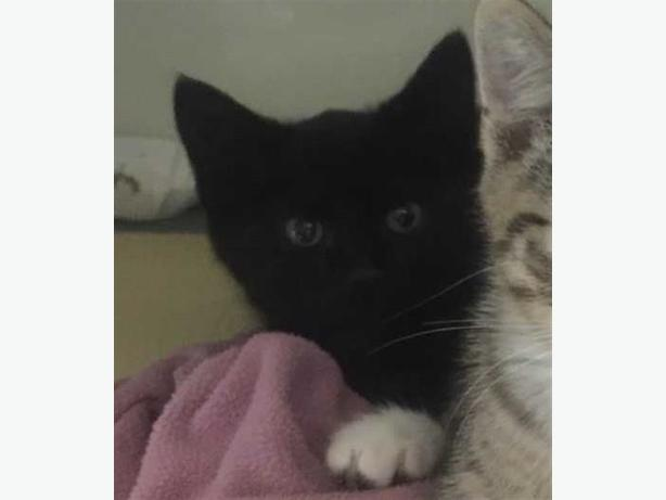 Kitten 7 - Domestic Short Hair Kitten