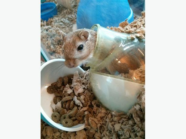 Sugar - Gerbil Small Animal