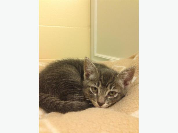 Iris - Domestic Short Hair Kitten
