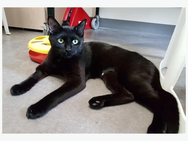 Muesli - Domestic Short Hair Cat