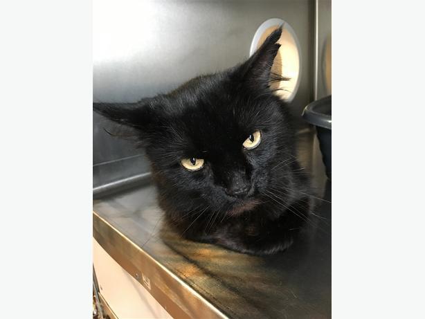Brooks - Domestic Medium Hair Cat