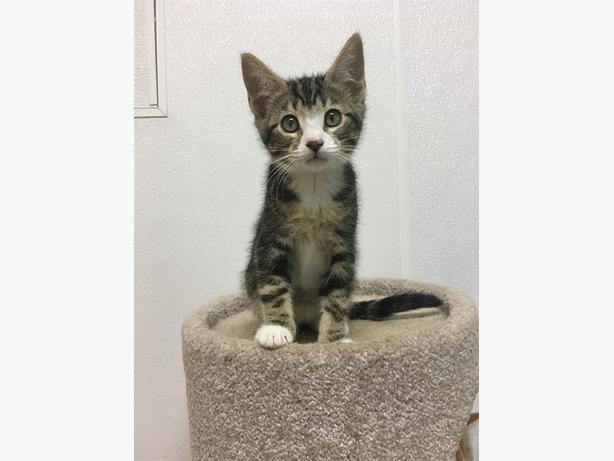 Jupiter - Domestic Short Hair Kitten