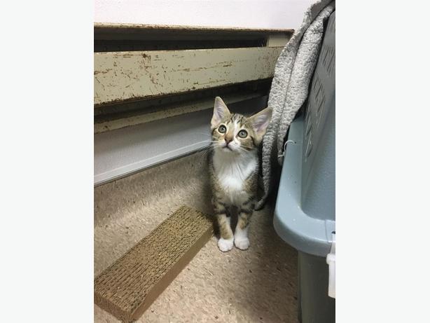 Venus - Domestic Short Hair Kitten