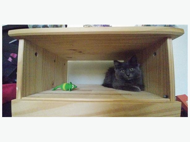 Gracie - Domestic Longhair Kitten