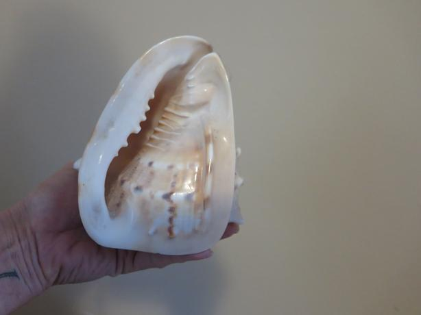 Conch Shell from Cuba