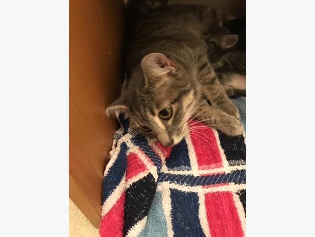 Reba - Domestic Short Hair Cat
