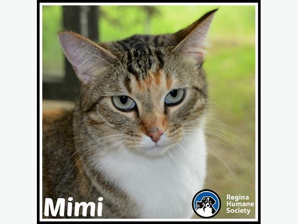 Mimi* - Domestic Short Hair Cat