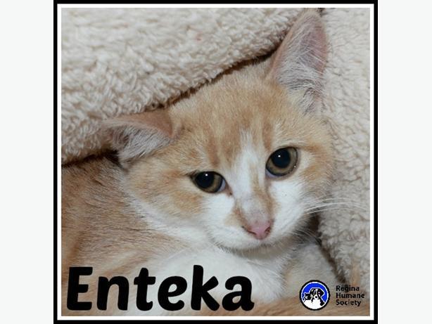 Enteka* - Domestic Short Hair Kitten