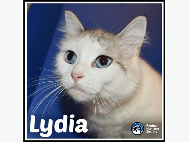 Lydia - Domestic Medium Hair Cat