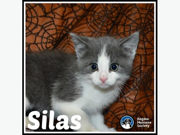 Silas - Domestic Medium Hair Kitten