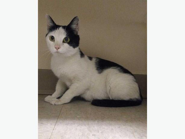 Medusa - Domestic Short Hair Cat