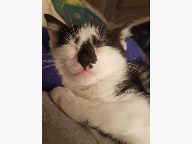 Opal - Domestic Short Hair Kitten