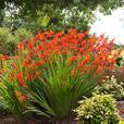 Crocosmia bulbs, geum, strawberry plants, ground covers
