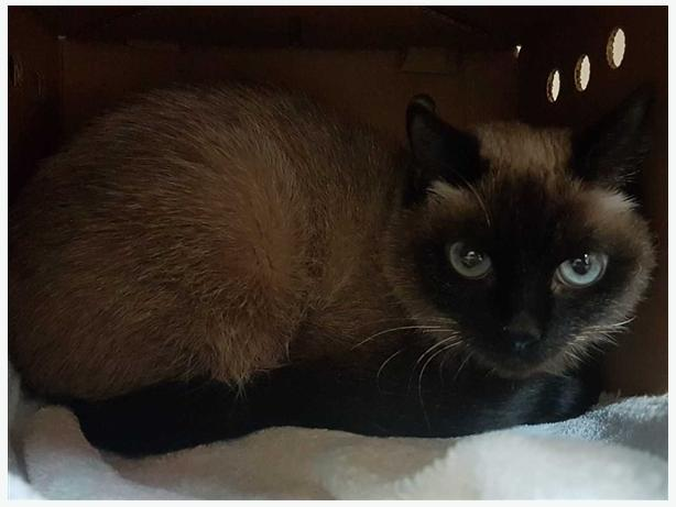 Precious - Siamese Cat