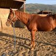 Candy - Horse-Quarter Horse Farm Animal