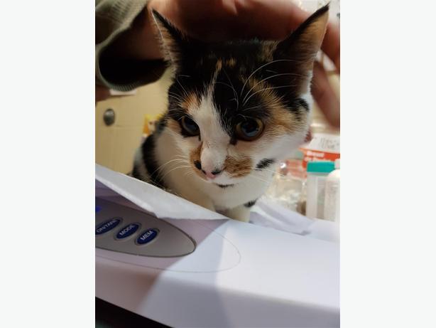 Eleanor - Domestic Short Hair Cat
