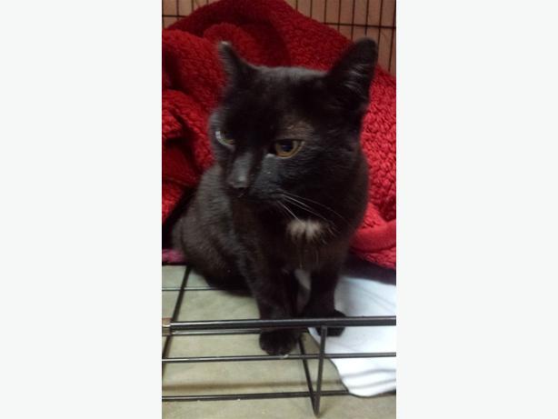 Katsha - Domestic Short Hair Cat