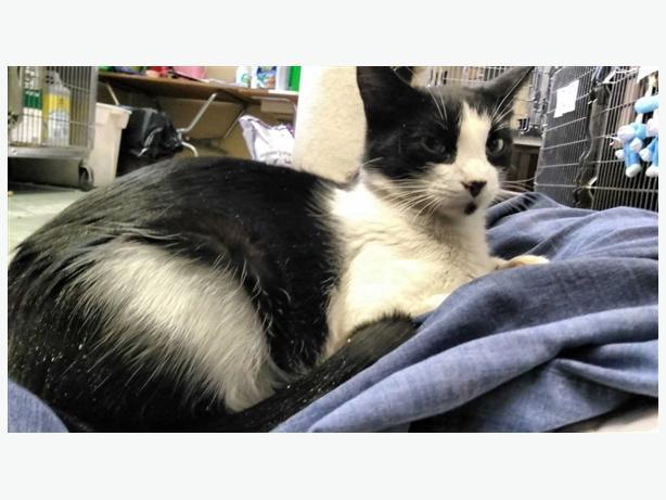 Grace - Domestic Short Hair Cat