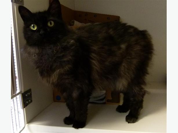 Jinny - Domestic Longhair Cat