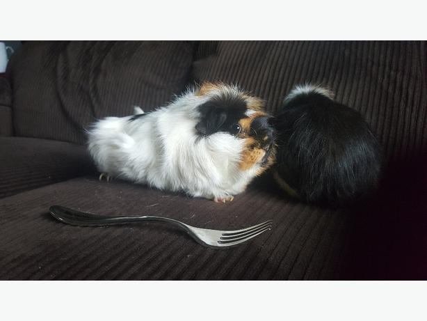 Pair of Guinea Pigs with cage