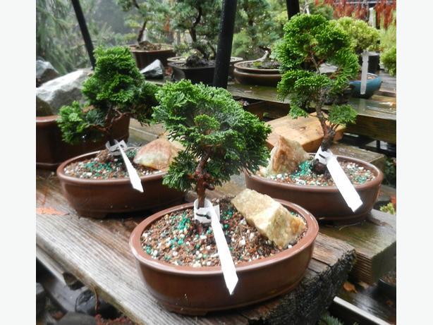 Hinoki Cypress Bonsai
